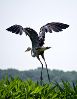 Miracle of Flight-  Great Blue Heron