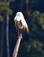 Egrets and more at Mattawoman Creek